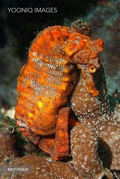 Pacific seahorse (Hippocampus ingens) and a small sponge, Ponta de Sao Vicente, Isabella Island, Albemarle, Galapagos Islands, a UNESCO World Natural Heritage Site, Ecuador, Pacific Ocean, South America