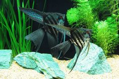 The difference in The iFISH Store is our quality angelfish at a competitive price. Our fish arrive alive and thrive in the appropriate aquarium conditions. Shop our Zebra Lace Angel today! Home Aquarium, Aquarium Fish, Alien Theories, Fish Breeding, Saltwater Tank, Koi Carp, Discus, Fishing Life, Angel Fish