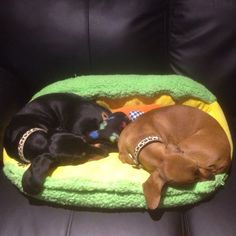 Synchronised Sleeping Miniature Dachshunds