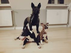 #Bullterrier, #Inge&Eva, #Love