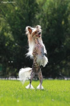 Chinese Crested Pictures (ili95nk74k5)