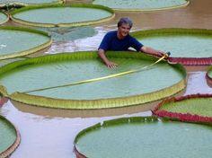 La plante Victoria amazonica a une croissance exceptionnelle. - SCMB Images