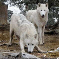 SAVE THE WOLVES   photo courtesy of Wild Spirit Wolf Sanctuary.