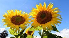 Jeden Tag bewegen sich die jungen Sonnenblumen von Ost nach West, um möglichst viel Licht abzubekommen. Im Alter verharren sie jedoch - auch das hat seinen Grund Weitere Sonnenblumen und Blumen News: http://www.sunshine-flower.de/blumen_news.php#leseliste