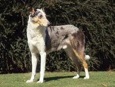 Chien Colley à poil court - Bluemerle Smooth Collie