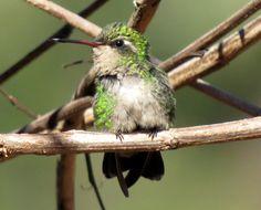 Foto besourinho-de-bico-vermelho (Chlorostilbon lucidus) por Claudia Godoy | Wiki Aves - A Enciclopédia das Aves do Brasil