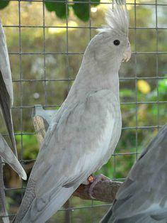 cockatiels   Olive Cockatiels Cockatiel, Budgies, Parrots, Rare Birds, Exotic Birds, Pretty Birds, Beautiful Birds, Animals And Pets, Cute Animals