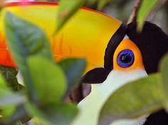 Tucano :: Amazônia, Brazil :: [Censo da Biodiversidade]