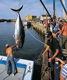 Landing a big tuna fish! Tuna Fishing, Kayak Fishing, Fish Quotes, Funny Fish, Verde Island, Offshore Fishing, Cape Verde, One Fish, Deep Sea Fishing