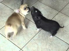 Mini pig and puppy! Playing together so cute!! - YouTube