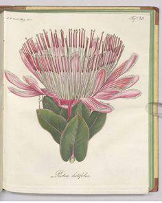 240560 Protea eximia (Knight) Fourc. [as Protea latifolia R. Br.]  / Fortsetzung des Allgemeinen teutschen Garten-Magazin oder gemeinnützige Beiträge für alle Theile des praktischen Gartenwesens [J.F. Bertuch], vol. 4: t. 25 (1819)