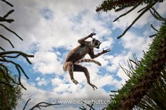 Ring-tailed Lemur (Lemur catta) leaping through spiny forest. Anjampolo Forest, southern Madagascar. (digitally modified image).  Photo by Nick Garbutt