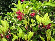 RARE Chionanthus Virginicus Fringe Tree 5 Graines Vendeur Britannique