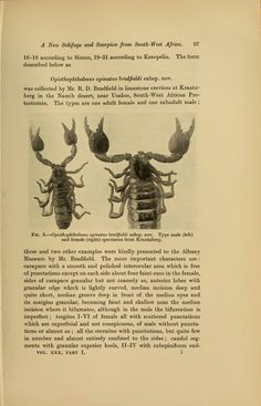 A new Solifuge and Scorpion from South-west Africa - BioStor