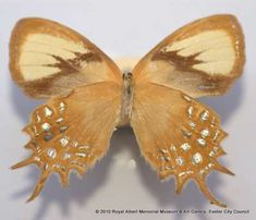 Gold-drop helicopis butterfly | Floating Birds | Pinterest ...