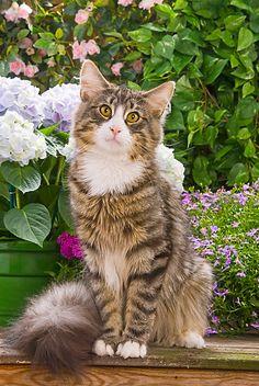 CAT 01 JE0025 01 © Kimball Stock Norwegian Forest Cat Sitting In Garden