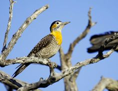 Campo Flicker Colaptes campestris - Google Search