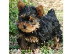 Yorkshire Terrier, I want one!!!