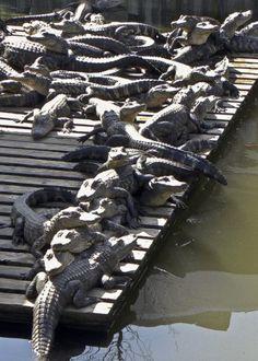 Gator Land - Kissimee, Florida