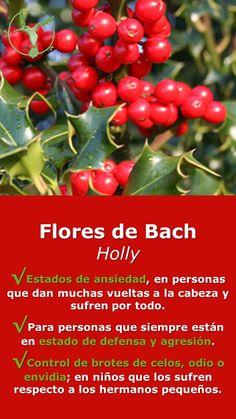#floresdebach #ansiedad #holly #beneficios #envidia #celos #odio #en #español #holly #para #niños #remedies #salud #terapia #terapias #alternativas #remedios