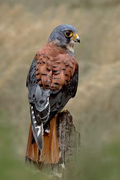 Falco sparverius by Michael Milfeit**