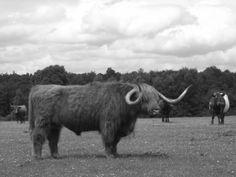 Schotse Hooglander in New Forest.