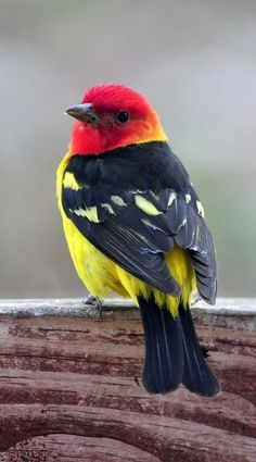 red black faced bird with yellow on it wings - Google Search