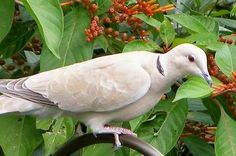 Ringneck Dove pair: Very easy to tame and take care of.