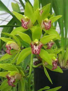 New Horizon cymbidium Orchids | ... wiki/Cymbidium_Cliff_Hutchings Cymbidium Cliff Hutchings 'New Horizon