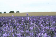 Cultura de Capsuni: sfaturi practice pentru venituri de cel putin 23.000 de euro la hectar | StiriAgricole.ro Lavender, Plants, Euro, Life, Plant, Planets