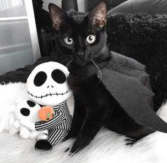 Pet Halloween Costumes, First Halloween, Halloween Photos, Pet Costumes, Halloween Cat, Halloween Ideas, Scary Cat, Cat Boarding, Animals