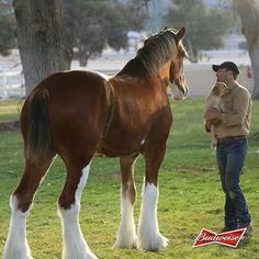 Budweiser Clydesdale horse - that's a handsome horse! Clysdale Horses, Horses And Dogs, Draft Horses, Breyer Horses, Horse Photos, Horse Pictures, Most Beautiful Animals, Beautiful Horses, Beautiful Creatures