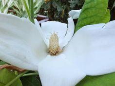 Alternative Eden Exotic Garden: Favourite Plant of the Week - Magnolia macrophylla subsp. ashei