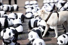 Anlässlich unseres 50. Geburtstages gehen wir von August bis Oktober 2013 mit 1600 Panda-Skulpturen auf Deutschlandtour. So viele der Großen Pandas leben noch in Freiheit. Damit möchten wir auf die Zerstörung des Lebensraums vieler Arten aufmerksam machen. http://www.wwf.de/1600Pandas