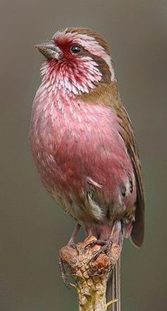 Colorful birds - Finch - White Browed Rosefinch (Carpodacus dubius) It is found in Tibet and China. - from Totaly Outdoors Pretty Birds, Love Birds, Beautiful Birds, Animals Beautiful, Cute Animals, Eagle Animals, Animals Amazing, Pretty Animals, Baby Animals