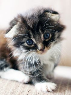 Please give me a cuddle !! http://www.mainecoonguide.com/where-to-find-free-maine-coon-kittens/