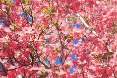 Dogwood-one of the prettiest blooming spring trees