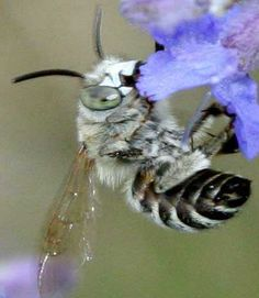 Anthophora albigena mâle...(photos F.Cregut)