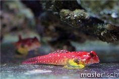 Roter Mandarinfisch Ruby Red