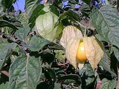 physalis pulbescens