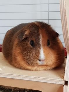 There are many different breeds of guinea pigs from long haired to shorter haired varieties. Here is ad Different Types of Guinea Pig Breeds. Guinea Pig Breeding, Pet Guinea Pigs, Guinea Pig Care, Cute Little Animals, Cute Funny Animals, Guinie Pig, Hamsters, Rodents, Guinea Pig Clothes