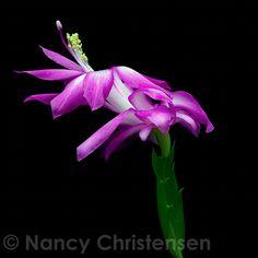 Christmas cactus in bloom Christmas Cactus, Macro Photography, Bloom, Portraits, Garden, Floral, Plants, Garten, Head Shots