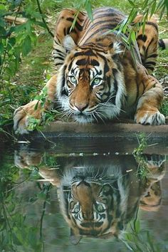 Powerful beauty and majesty...best of the big cats pauses to refresh.