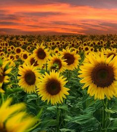 Beautiful Flowers Posts Amazing Travel Turkey Sunflowers Daisies Nature Paradise