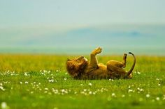 HAPPY LION!