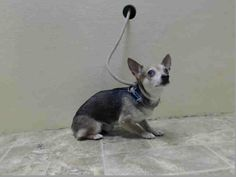 TO BE DESTROYED 4/20/14 Brooklyn Center   My name is SOFRITO. My Animal ID # is A0996508. I am a male tricolor chihuahua sh mix. The shelter thinks I am about 3 YEARS old.  I came in the shelter as a STRAY on 04/12/2014 from NY 11354, owner surrender reason stated was STRAY.  https://www.facebook.com/photo.php?fbid=789744644371750&set=a.611290788883804.1073741851.152876678058553&type=3&theater