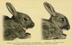 Rabbitdimorphism - European rabbit - Wikipedia, the free encyclopedia Female Rabbit, Rabbit Head, Watership Down, Mammals, Creatures, History, Hamilton, British, Photograph