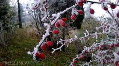 berberys thunberga - ozdobne owoce, są jadalne i zdrowe, bogate w witaminę C
