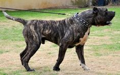 Mastiff Breeds, Dog Breeds, Pit Bull, Cane Corso Dog, Real Dog, War Dogs, Dog Games, Dog Vest, Dogs Of The World