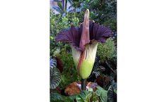 Não se trata apenas de uma flor e, sim, de uma estrutura de até 70 kg com múltiplas e pequenas flores conectadas a um mesmo eixo. Endêmica de Sumatra, a Amorphophallus titanum chega a 3 m de comprimento e é a inflorescência mais alta do mundo.
